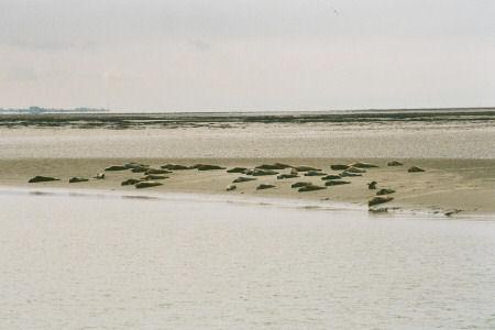 LANGEOOG 2005 - Ausflug zu den Seehundbänken - Seehunde